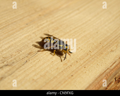 German wasp on wood / Vespula germanica / Deutsche Wespe auf Holz - Stock Photo