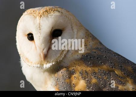 Close up portrait of a Barn Owl - Tyto alba - Stock Photo