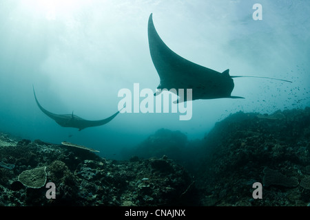A pair of manta rays (Manta alfredi) swoop through a narrow channel where currents bring plentiful amounts of plankton. - Stock Photo
