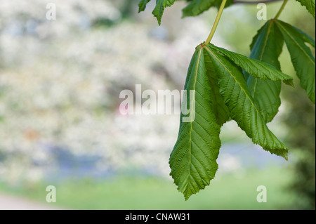Aesculus x carnea plantierensis. Pink Buckeye. Plantierensis horse chestnut tree new leaf in spring - Stock Photo