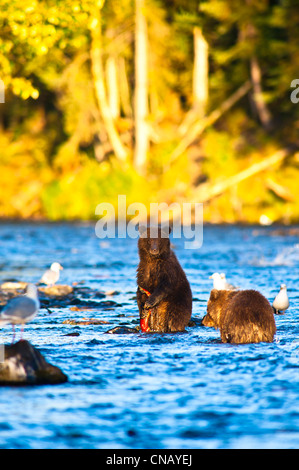 Two young brown bear cubs fishing for salmon on a late summer evening, Russian River, Kenai Penninsula in Southcentral - Stock Photo