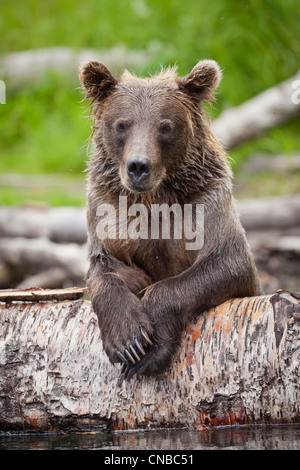 Sub-adult Brown bear rests on a fallen log in the Russian River, Southcentral Alaska, Summer - Stock Photo