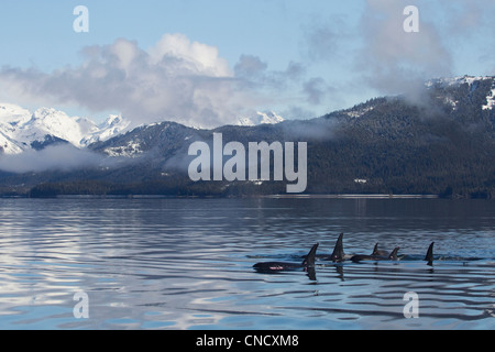 Killer Whale pod showing dorsal fins on glassy calm surface of Prince William Sound with Chugach Mountains in background, - Stock Photo