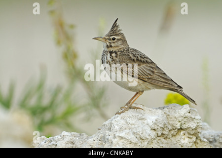 Crested Lark (Galerida cristata) adult, standing on stone, Bulgaria, may - Stock Photo