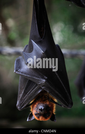 Close up of a Liyle Flying Fox Pteropus scapulatus known as fruit bat hanged upside down - Stock Photo