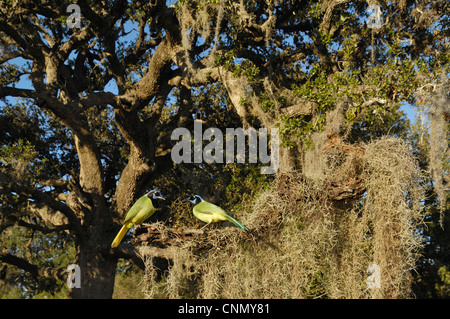 Green Jay (Cyanocorax yncas), group in Live Oak tree (Quercus virginiana), Lake Corpus Christi, South Texas, USA - Stock Photo