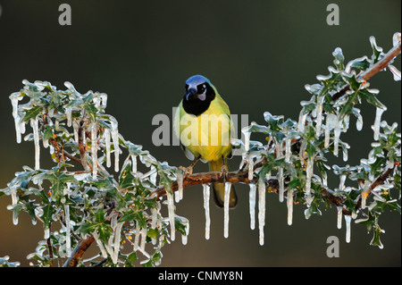 Green Jay (Cyanocorax yncas), adult perched on icy Agarita (Berberis trifoliolata) branch, Dinero, Lake Corpus Christi, - Stock Photo