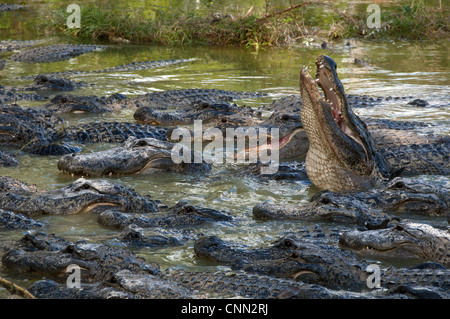 American Alligator (Alligator mississipiensis) adults, group in water on alligator farm, Florida, U.S.A., december - Stock Photo