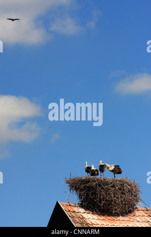 European white stork ciconia ciconia adolescent chicks in nest adult soars above Hunawihr alsace france - Stock Photo