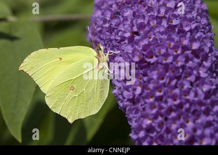 Brimstone Butterfly (Gonepteryx rhamni) adult, feeding on Buddleia (Buddleja sp.) flowers, Rhineland-Palatinate, - Stock Photo
