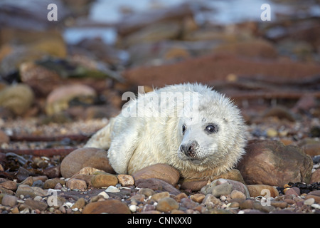 Grey Seal, Halichoerus grypus, young pup - Stock Photo