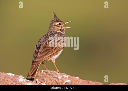crested lark (Galerida cristata), singing, Europe - Stock Photo