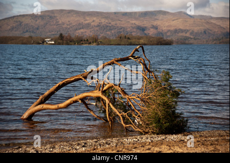 A fallen tree on the shore of Loch Lomond along the West Highland Way in Scotland - Stock Photo