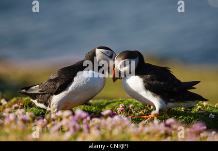 Atlantic puffin, Common puffin (Fratercula arctica), two individuals billing, United Kingdom, Scotland, Shetland - Stock Photo
