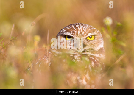 burrowing owl (Athene cunicularia), sitting well camouflaged in the vegetation, USA, Florida, Captiva Island - Stock Photo