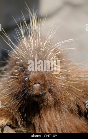 North American porcupine (Erethizon dorsatum), portrait - Stock Photo