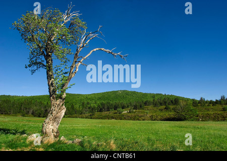 single tree in a meadow in front of a forested ridge, France, Lozere, Cevennes National Park - Stock Photo