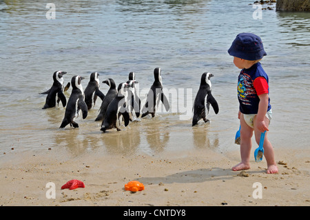 jackass penguin, African penguin, black-footed penguin (Spheniscus demersus), little boy at the beach turning around - Stock Photo