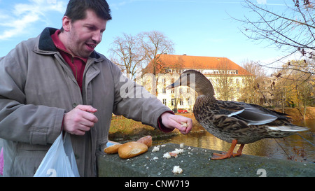 mallard (Anas platyrhynchos), man feeding a mallard, Germany, Lippstadt - Stock Photo