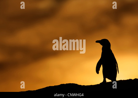jackass penguin, African penguin, black-footed penguin (Spheniscus demersus), at sunset, South Africa, West Cape, - Stock Photo