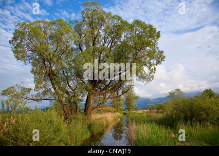 white willow (Salix alba), in mire landscape beside a creek, Germany, Bavaria, Chiemsee - Stock Photo