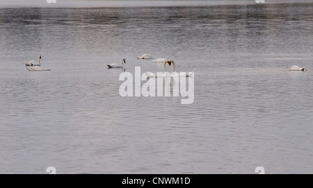 Swans making a heart shape on the river - Stock Photo