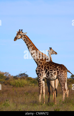 giraffe (Giraffa camelopardalis), mother with calf at the savanna, Botswana, Chobe National Park, Savuti - Stock Photo