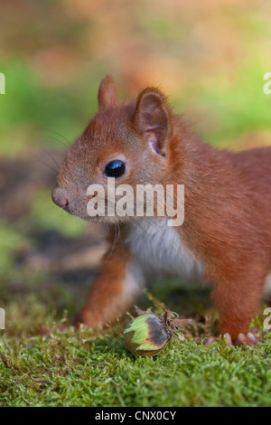 European red squirrel, Eurasian red squirrel (Sciurus vulgaris), pup sitting on moss with a hazelnut, Germany - Stock Photo