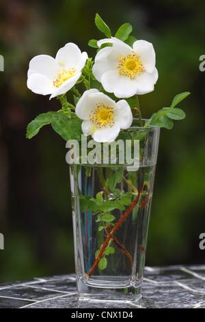 dog rose (Rosa canina), Dog Rose in a vase - Stock Photo