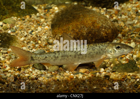 barbel (Barbus barbus), young animal - Stock Photo