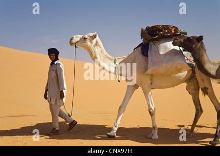 dromedary, one-humped camel (Camelus dromedarius), beduine in the Libyan desert leading a small dromedary caravan, - Stock Photo