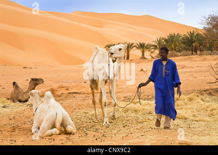 dromedary, one-humped camel (Camelus dromedarius), man with resting dromedaries in front of looming sand dunes, - Stock Photo