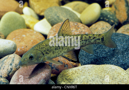barbel (Barbus barbus), juvenile at the pebble ground of a water, Germany - Stock Photo