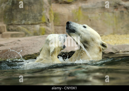 polar bear (Ursus maritimus), mother with pup in the water - Stock Photo