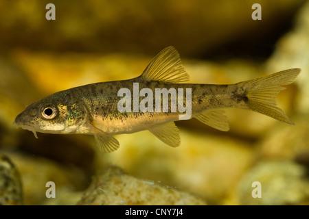 barbel (Barbus barbus), juvenile of 30 mm, Germany, Bavaria, Isental - Stock Photo