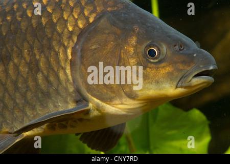 gibel carp, Prussian carp, German carp, Crucian carp (Carassius auratus gibelio), portrait - Stock Photo