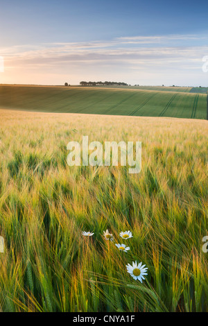 Daisies and barley field in summer, Cheesefoot Head, South Downs National Park, Hampshire, England. Summer (July) - Stock Photo
