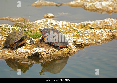 red-bellied turtle, redbelly turtle (Chrysemys rubriventris), turtles taking a sunbath, USA, Florida, Everglades - Stock Photo