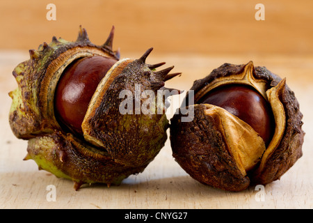 2 conkers in shells horse chestnuts autumn nuts seeds opened - Stock Photo