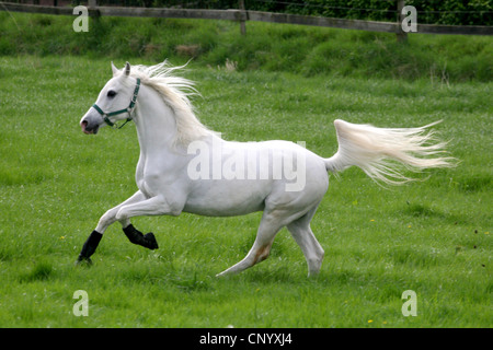 Arabian Thorougbred, Pure-bred Arab horse (Equus przewalskii f. caballus), running joyfully on paddock, Germany, - Stock Photo