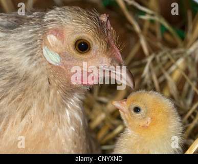 bantam (Gallus gallus f. domestica), hen and chick, portrait, Germany - Stock Photo