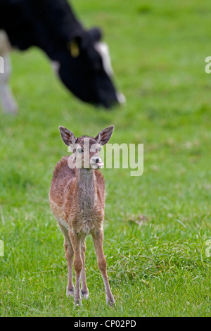 fallow deer (Dama dama, Cervus dama), fallow deer calf with domestic cattle on a pasture, Germany, Schleswig-Holstein - Stock Photo