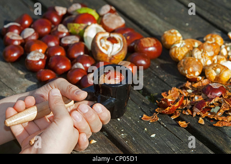common horse chestnut (Aesculus hippocastanum), making soap from horse chestnuts: child cracking conkers with a - Stock Photo