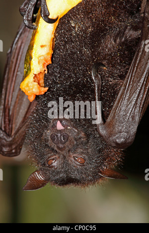 A large Megabat, or Fruit Bat, Pteropus vampyrus eating Papaya. The animal's tongue can be seen. - Stock Photo