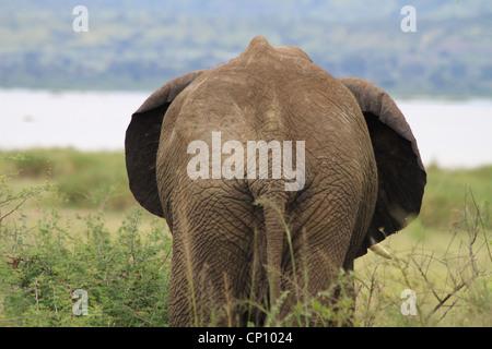 African Elephant (Loxondonta africana) walking away & showing its rear view, Murchison Falls National Park, Uganda - Stock Photo