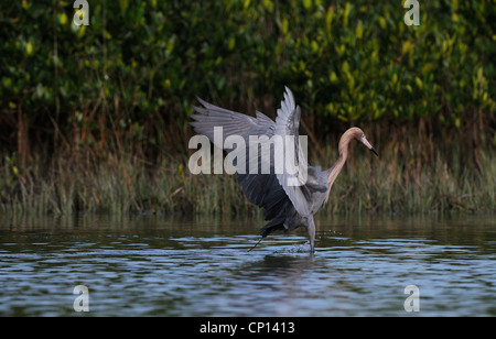 Reddish Egret, Egretta rufescens, in the shallow waters of lagoon and marsh of Fort de Soto looking for fish, Florida, - Stock Photo