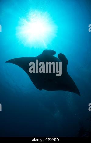 Manta Ray near to South Ari atoll, Maldives (Manta birostris) - Stock Photo