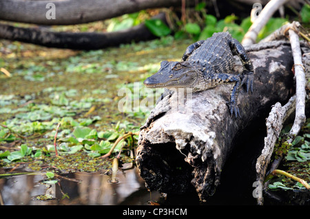 Young alligator on a log - Stock Photo