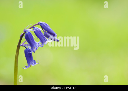 Hyacinthoides non scripta. Bluebell flower in an English woodland - Stock Photo