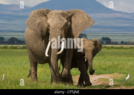An African elephant cow (Loxodonta africana) and her teenaged calf feed in the Amboseli - Stock Photo